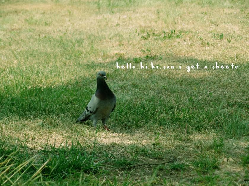 pigeon talk